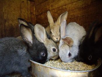 Как содержать кроликов правильно