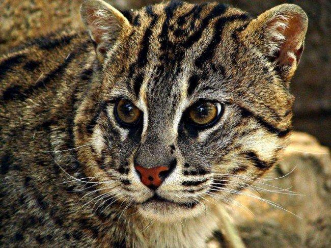 Чем известна крапчатая кошка?