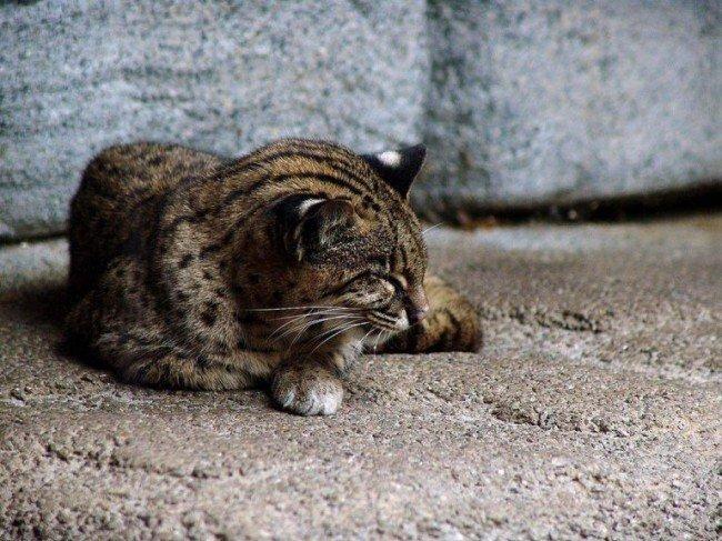 дикий котенок