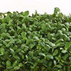 Микрозелень Гороха. Cодержат фосфор, витамины В2, В1, В9, В6, Е, С, РР, К, протеины.