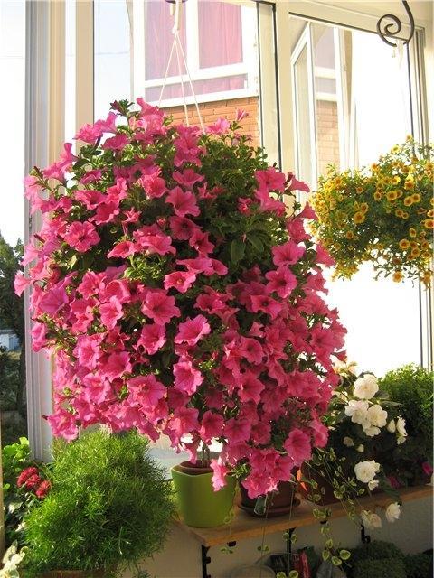 Какие цветы можно вырастить на балконе на солнечной и северн.