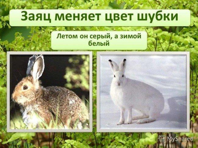 заяц зимой и летом