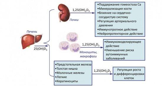 действие витамина Д