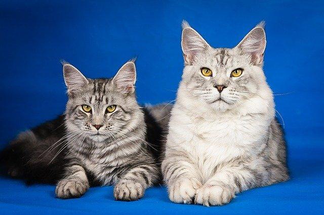 коты породы мейн-кун