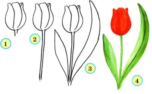 Этапы рисования тюльпанов.