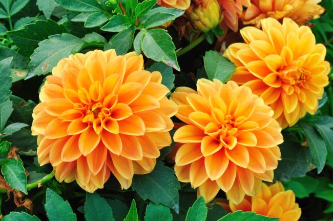 георгин - родина цветка