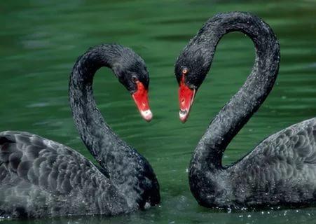 длинная шея у черного лебедя