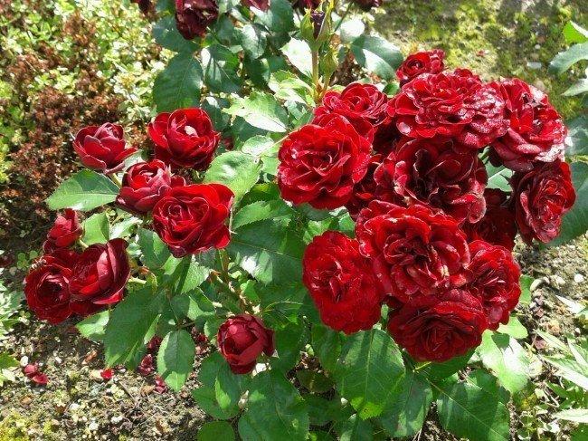 Куст цветущей розы
