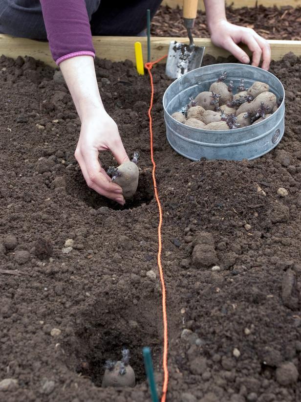Что сажают перед картофелем