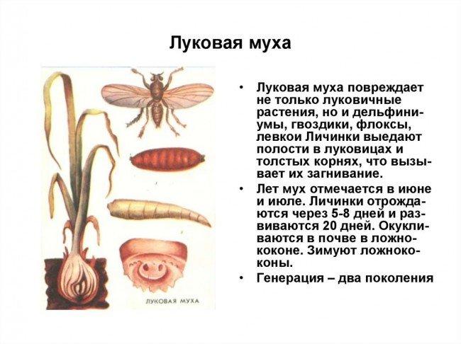 Луковая муха