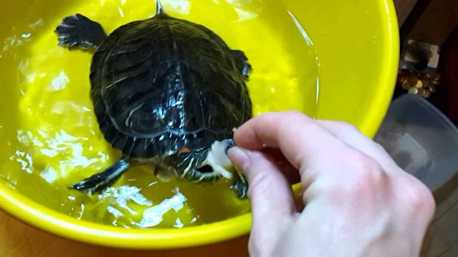Купание черепахи.