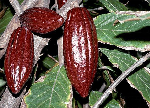 Чоколатль - любимый напиток Монтесумы
