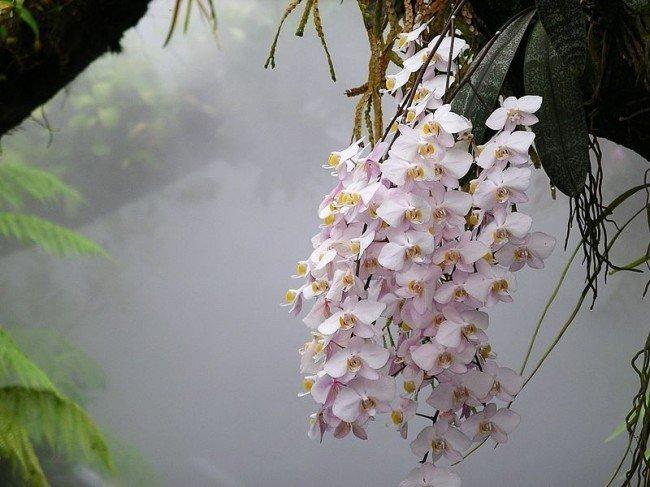 орхидея, свисающая с дерева