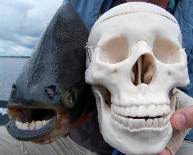 планета: Рыба бурый паку.