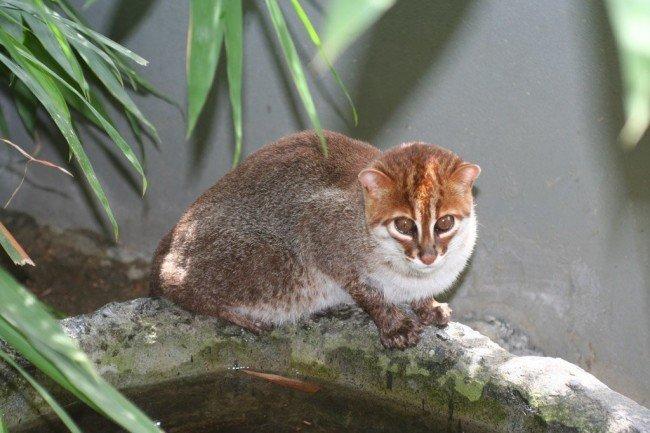 малазийская кошка