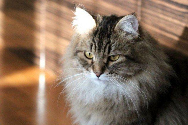 кот домашний серый