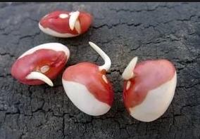 фасоль ростки