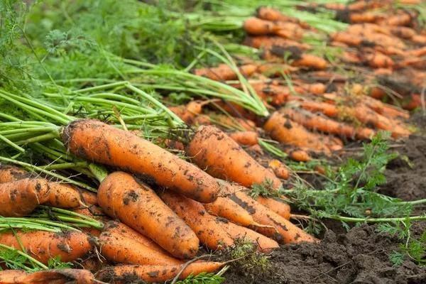 урожай морковки
