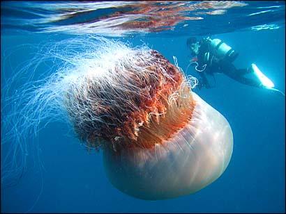 природа: Медуза Цианея