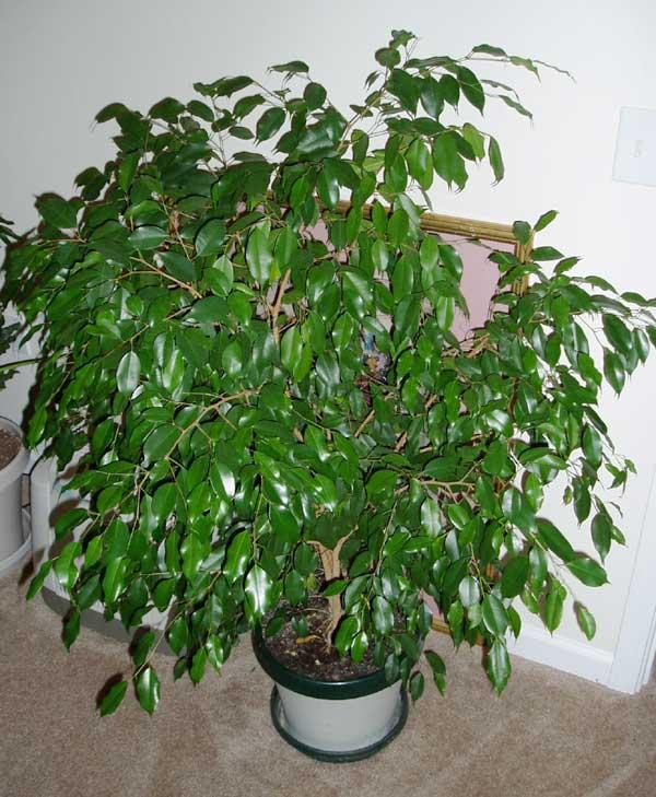 Комнатные растение фикус уход в домашних условиях