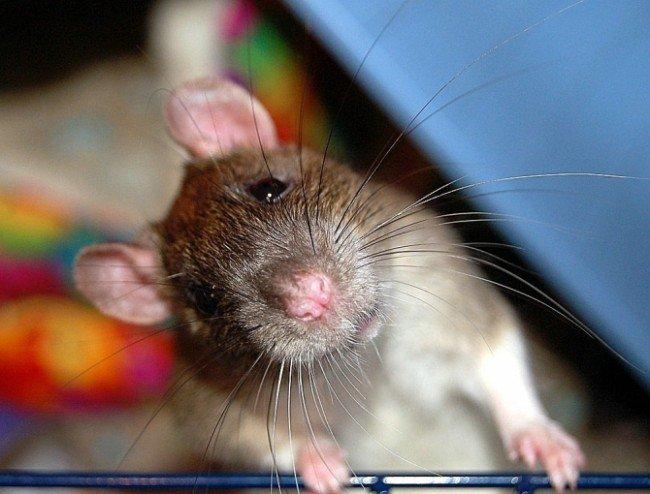 содержание декоративной крысы в квартире