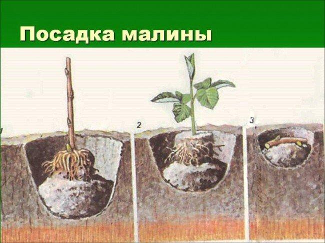 способы посадки малины