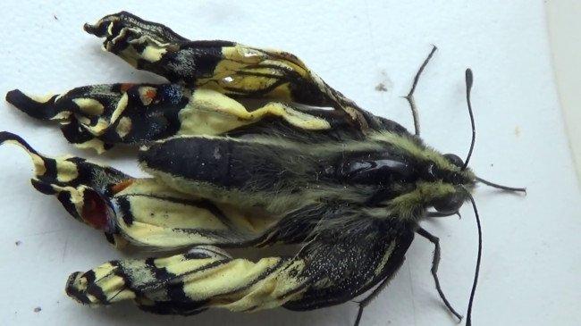 Новорожденная бабочка, с не обсохшими крыльями.