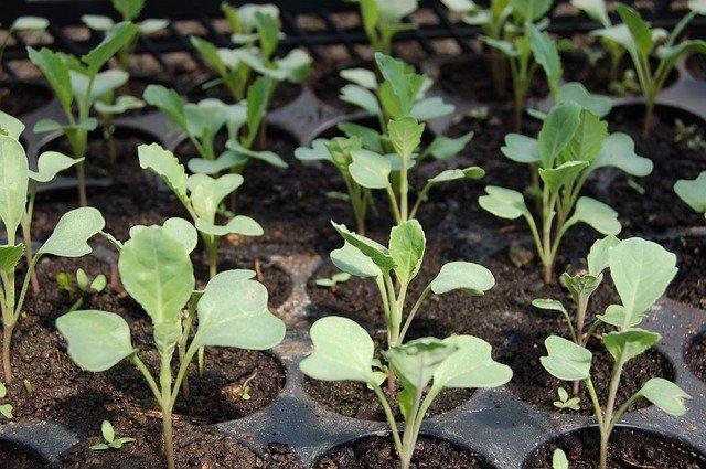 Когда сажать капусту в открытый грунт в 2018 году?