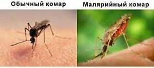 Обычный и малярийный комары.