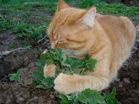 кошачье растение