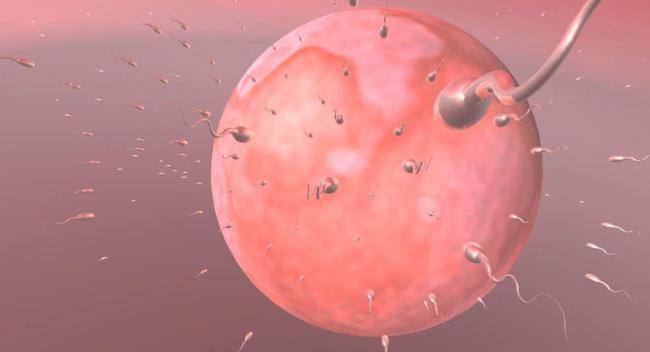 Сперматозоиды на что разлагаются