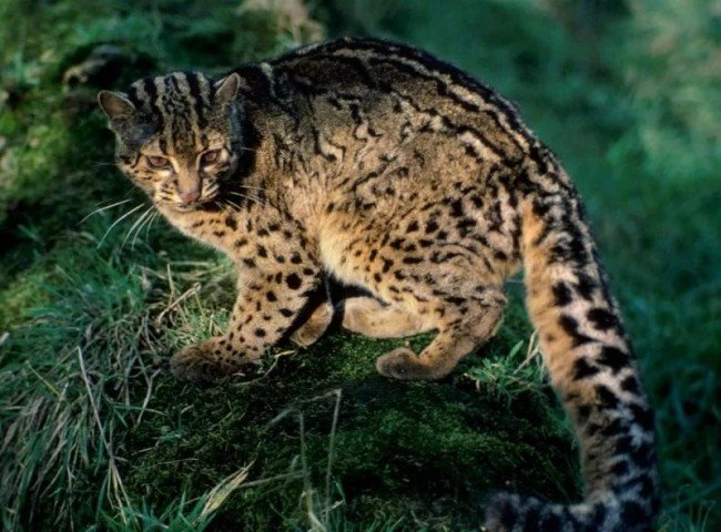 дикая мраморная кошка