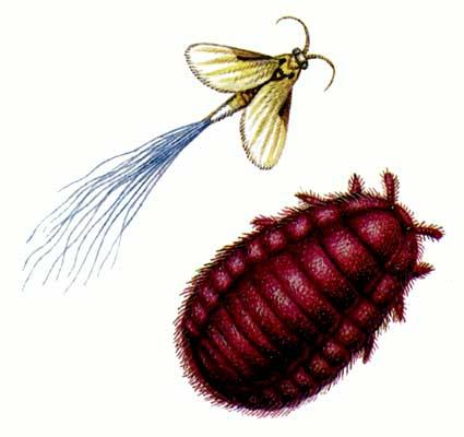 кошенель - насекомое, которое добавляют в напиток