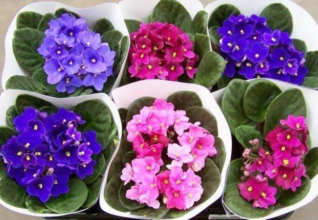 фиалки - уход за цветами