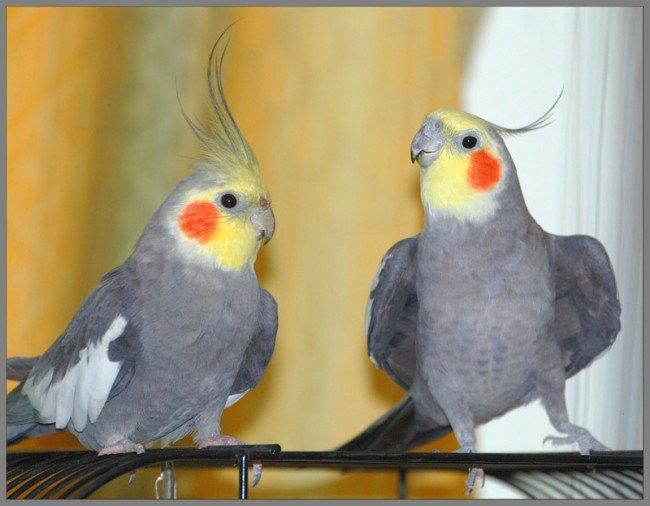 Корелла - попугай с ярким хохолком
