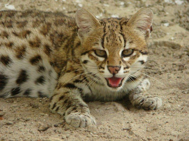 Кошка жоффруа: среда обитания