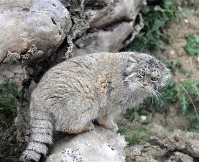 в дикой природе кошка