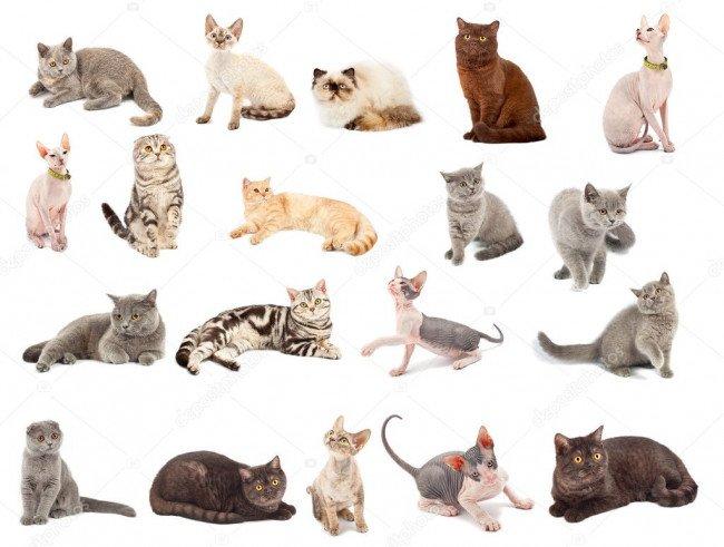 многообразие кошек.