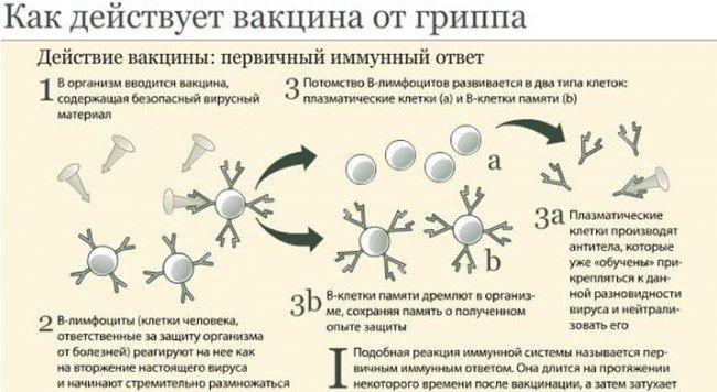 развитие иммунитета от вакцинации