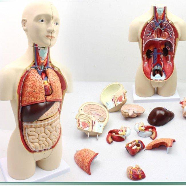 Как расположены внутренние органы человека