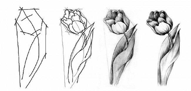 Основы поэтапаного рисования тюльпанов.