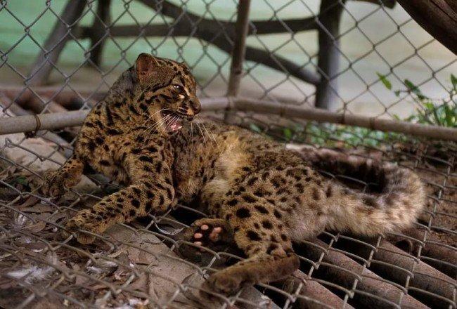 дикая кошка в зоопарке