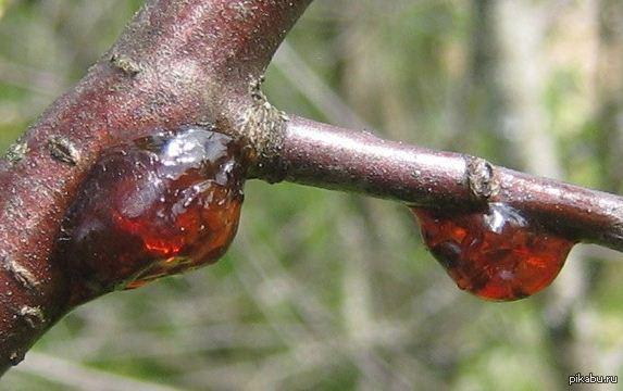 клей вишни