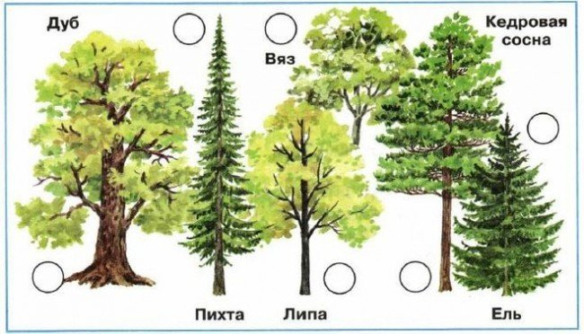 Как определить деревья тайги и широколиственного леса?