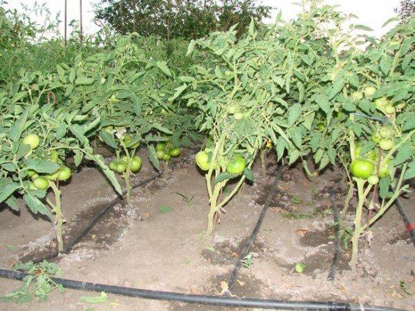огород и растения в нем