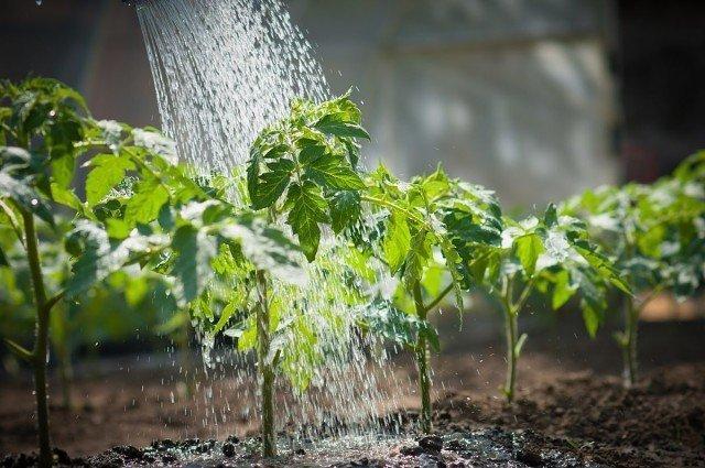 после заморозка смачиваем листья водой