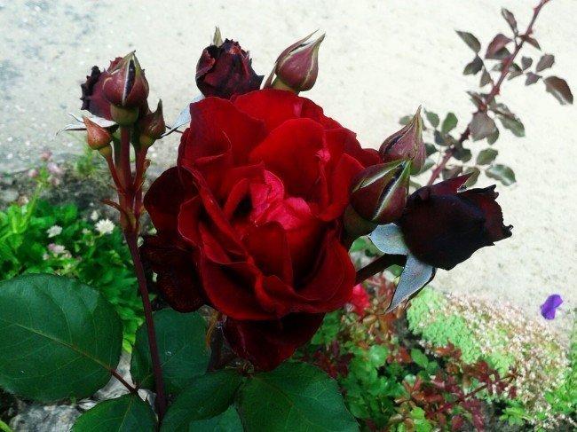 роза в цветении