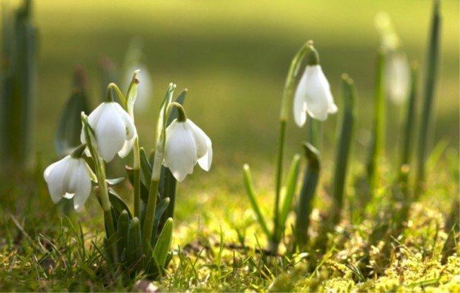 весна и подснежники