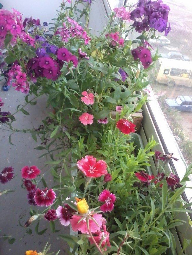 Выращивание на балконе 96