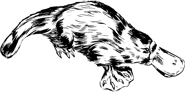 утконос - как выглядит
